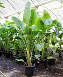 Plant: Strelitzia nicolai - White Bird Of Paradise Origin: South Africa Zone: Height: Tropical Garden, Plants, Tropical Garden Design, Tropical Plants, Outdoor Gardens, Trees To Plant, Outdoor Plants, Pool Plants, Indoor Plants
