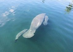 """MANATEE TWINS  Save the Manatee Club reports: """"A female manatee with twin calves was recently reported in the Homosassa River in Florida. The mother is a longtime visitor to the area and is known as """"CR707"""". Twins are unusual for manatees. On average, a mature female, or cow, will bear one calf every two to five years. If you spot a manatee in the wild, please remember to look, but don't touch and observe from a distance."""" - Photo by Candice Coleman  via Frans de Waal -Public Page Facebook"""