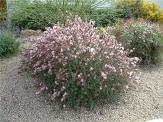 Pink Fairy Duster BUSH/ Calliandra eriophylla/ Mature Size: 3' h x 4' w/ Flower Color: Pink powderpuffs/ Sun: full sun/ Flower Season: spring to fall/ Water: very low/ Growth Rate: moderate/ Form: upright, airy/ Evergreen? semievergreen/ Hardiness: 1-10° F/ Litter: low/ Attracts Wildlife: birds, hummingbirds