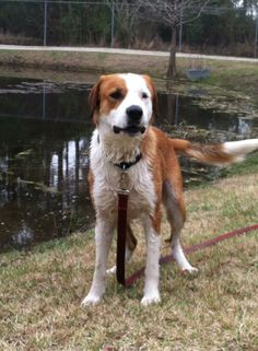 Meet the Flanders. He is 1 year old St. bernard/ hound mix  who love everybody and everything. Flanders weight 65 pounds and still growning He loves other dogs, kids and cats.He is good on leashed, house trained, crate trained. Flanders love to swim...