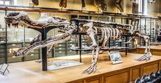 Sarcosuchus, aka the SuperCroc, was the largest prehistoric crocodile that ever…