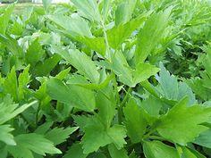 Cèleri vivace à planter : cèleri en pot - Aromatiques