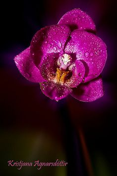 Phalaenopsis | Flickr - Photo Sharing!