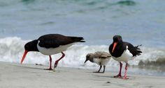 Bruny Island Bird Festival - Oyster Catchers, Adventure Bay. Photo by Shutterbug Walkabouts Tasmania and article by Helen Young for www.think-tasmania.com
