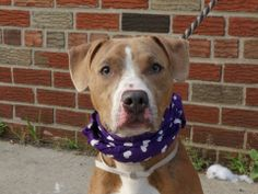 TO BE DESTROYED - 06/21/14 Brooklyn Center -P  My name is KING. My Animal ID # is A1002665. I am a male br brindle and white am pit bull ter mix. The shelter thinks I am about 5 MONTHS old.  I came in the shelter as a STRAY on 06/09/2014 from NY 11208, owner surrender reason stated was STRAY. https://www.facebook.com/photo.php?fbid=819255598087321set=a.611290788883804.1073741851.152876678058553type=3theater