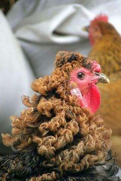 gallo de plumaje rizado