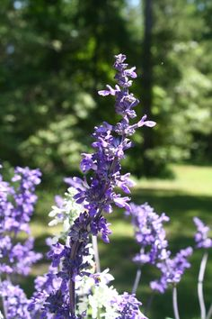 Henry Duelberg Mealycup Sage,Salvia farinacea 'Henry Duelberg' - Almost Eden Acid Loving Plants, Hummingbird Plants, Organic Mulch, Butterfly Plants, Seed Germination, Soil Improvement, Weed Seeds, Shade Perennials, Salvia