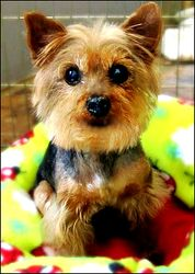86 Best Adoptable Yorkies Images On Pinterest Yorkie Yorkshire