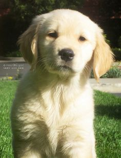"""""""Hello World!  I'm Miss ViVi Gold!"""" ---- [I'm a Golden Retriever born June 20 2009 in Oregon - my pawents named me Vivi, for """"la joie de vivre,"""" meaning """"joy of life"""" in French. I now live in California!]~[Photograph by VeryViVi (veryvivi.com) - August 23 2009]'h4d'121203"""