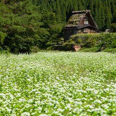 Buckwheat flower by Miyamoto Yoshihisa - location : Shirakawa-go in Japan