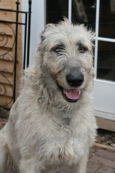 Fuck Yes Irish Wolfhounds! Bedlington Whippet, Lurcher, Big Dogs, I Love Dogs, Cute Dogs, Symbol Tattoos, Dog Rules, Large Dog Breeds, Mans Best Friend