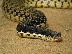 Malagasy Giant Hognose Snake