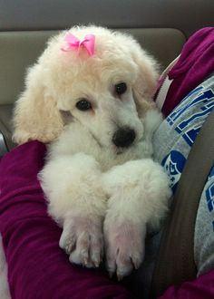 Our Standard Poodle puppy named Faith… so cute and sweet!