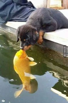 Puppy Kissing A Fish cute animals beautiful dogs adorable fish dog amazing puppy animal pets funny animals Cute Funny Animals, Cute Baby Animals, Animals And Pets, Wild Animals, Farm Animals, Cute Animals Kissing, Cute Puppies, Cute Dogs, Dogs And Puppies