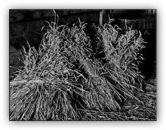Oldrobel's Fotoreise: grain sheaves