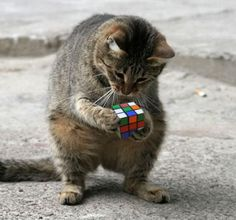 Rubik's cube kitty. Smart little fella. Can you guys solve this?
