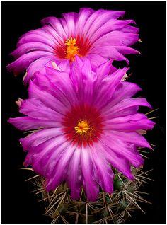 Thelocactus bicolor v. flavidispinus by Richard Reynolds via flickr.com