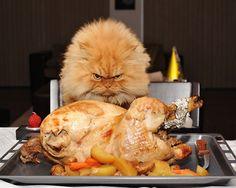 Conoce a Garfi el gato persa que está enfadado con el mundo entero | Qcosas