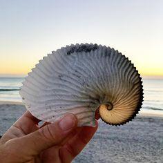 I found this perfect paper nautilus shell a few weeks ago! #seashell #seashells #beachcombing #beachcomber #shellart