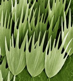 Scanning electron micrograph (SEM) of the scales on the wing of a Madagascan moon moth, Argema mittrei.