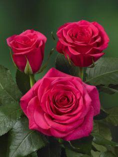 Kordes rose - Fuchsiana