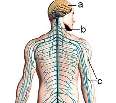 Hermosto on sähkökemialliseen viestintään perustuva tiedonvälitys- ja säätelyjärjestelmä. Se vastaanottaa sekä sisäistä että ulkoista informaatiota ja muokkaa ja ohjaa sitä niin, että elimistö toimii parhaalla mahdollisella tavalla. Tätä on myös johtajuus tulevaisuudessa.