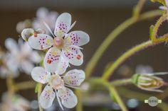 Pünktchen - Eine kleine Blüte mit vielen Pünktchen. A small flower with a lot of dots.