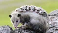 Мама-опоссум и её многочисленное семейство
