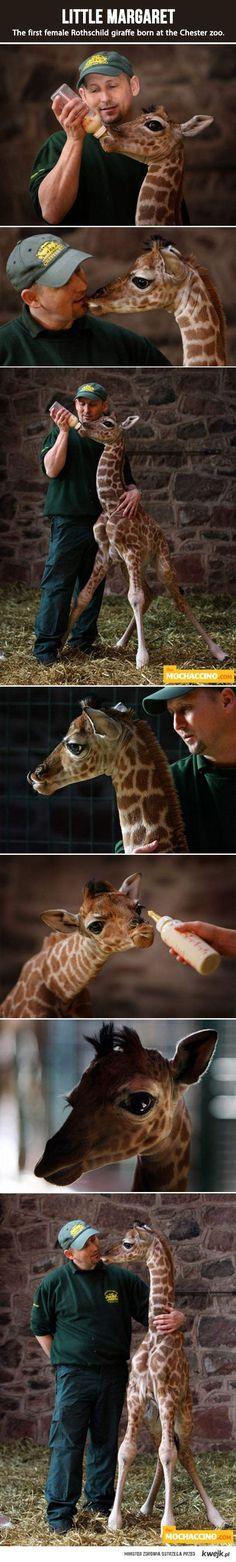 Mała żyrafa