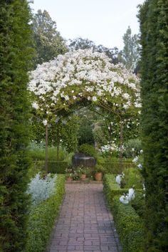 The white Rosa mulliganii in summer, climbing over the pergola in the White Garden at Sissinghurst Castle Garden, near Cranbrook, Kent