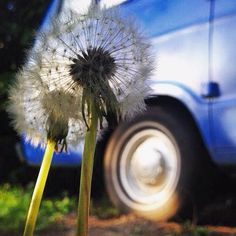 I love #dandilions  I know they are a weed but I don't care. I think it's pretty when a field (or more often a lawn) is covered in yellow flowers. #vangrrrl #vanlife #vanlifediaries #campervan #homeiswhereyouparkit