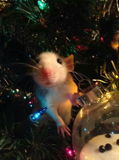 Merry Christmas.....rattie style....great ornament, so lifelike too!