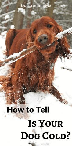 Learn how to tell if your dog is cold. What are the risks of your dog getting too cold? How to take your dog's temperature and how to keep them warm.