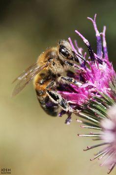 Bee by Josh Alecyan, via 500px