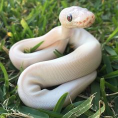 Blue eyed Lucy ball python Pretty Snakes, Beautiful Snakes, Animals Beautiful, Cute Animals, Baby Animals, Geckos, Reptiles And Amphibians, Cute Reptiles, Cute Snake