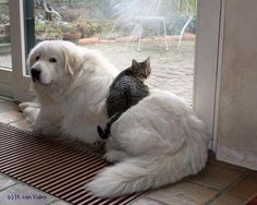 Great Pyrenees-this .Great Pyrenees-this just shows how beautiful gentle and huge these dogs are Animals And Pets, Funny Animals, Cute Animals, Funniest Animals, Huge Dogs, I Love Dogs, Beautiful Dogs, Animals Beautiful, Cute Puppies