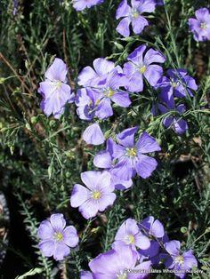 Linum (flax)