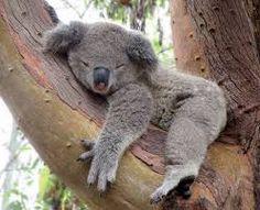 koala ile ilgili görsel sonucu