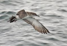 Don't call it a seagull -- this is a Black-vented Shearwater, skimming over the waves, doing what it does. (photo by Glen Tepke)