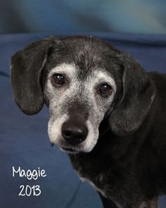 Maggie (aka Maggie-nificent)Maggie is a sweet, loving, gentle girl and playful girl. She loves life! She is so happy to be in a foster home, but can not wait to meet her new forever family soon.Maggie weighs about 40lbs. and is around 14yrs old. We...