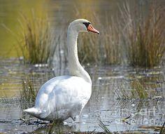 Swan at a natural wetlands