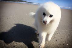 Meet Japanese Spitz Chibi, Dog of Bianka: Japanese Spitz, Companion Dog, Samoyed, Chibi, Husky, Ireland, Pets, Animals, Animales