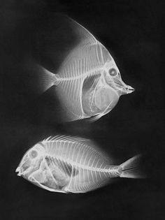 X Ray by J. M. Eder & E. Valenta