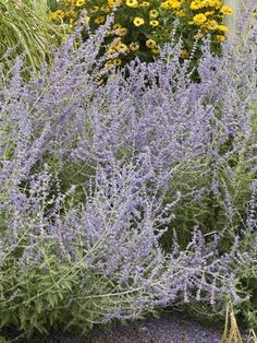 Russian Sage (Perovskia Atriplicifolia) - 1995 Perennial Plant Association Plant of the Year! Airy spikes of lavender-blue flowers top strong stems with small, finely dissected, silvery-green leaves. It's loose, open habit makes this perennial an effective filler in the back of the border.