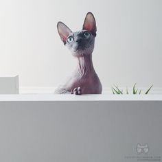 """From @michelle_sphynx: Hi my name is Michelle my owners love The Beatles very much and every time they calling me they sing the song: """"Michelle ma belle #twitterweek #catsofinstagram  #TwitterWeek: Follow us on Twitter for a chance to be featured this week! [source: http://ift.tt/1mIlzEy ]"""