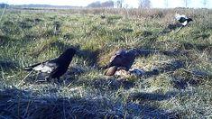 Buizerd op een kadaver van een fazant. Ook een kraai en een ekster hebben trek.