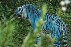 Image detail for -Maltese Tiger - Chat Big Cats and Other Animals Too Photo - Your ...