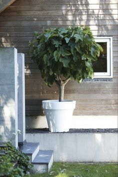 white-washed pot and fig tree and natural clap board