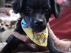 Missy Chihuahua & Cocker Spaniel • Baby • Female • Small Cochise Canine Rescue Benson, AZ