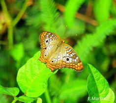 Anartia Jatrophae semifusca